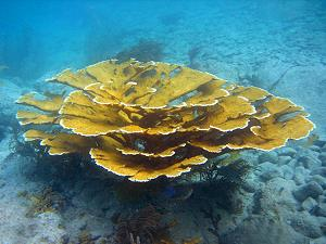 Elkhorn coral, lagoon and reef