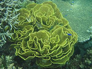 Lettuce Coral, lagoon and reef