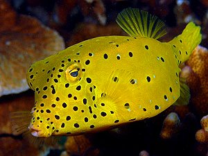 Yellow boxfish, Cube trunkfish