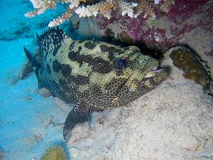 Grouper or Rockcod